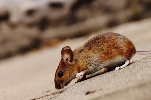 Mice Control, Pest Control in Newbury Park, Gants Hill, IG2. Call Now 020 8166 9746