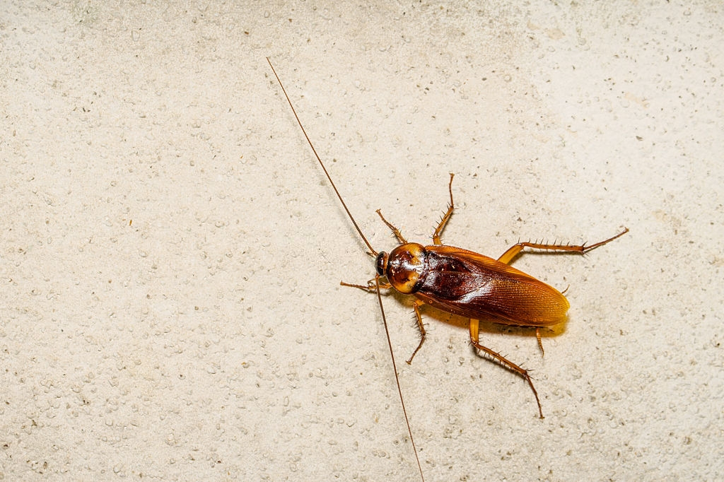 Cockroach Control, Pest Control in Newbury Park, Gants Hill, IG2. Call Now 020 8166 9746